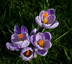 A nice sign of Spring in Rouen (alcowp) Tags: nature blooms crocus fleurs flowers printemps spring normandy normandie rouen france
