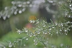 Nach dem Regen (Uli He - Fotofee) Tags: nikon rosen makro rosenblatt garten uli ulrike regen wein frauenmantel sommerregen ringelblume hergert prachtwinde nachdemregen nikond90 gartenparadies fotofee amtagalsderregenkam ulrikehe ulrikehergert ulihe