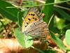 Lycaena phlaeas (beneventi2013) Tags: lepidoptera lycaenidae canonpowershota610 paolobeneventi