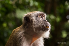 Battu caves Monkey (m4rtinovic) Tags: travel summer food zeiss monkey asia jungle malaysia kualalumpur tanahrata cameronhighlands malaka distagon langtengah pulaulangtengah bohtea zeisslenses sonya7 fe24240