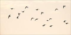 werribee-6155-ps-w (pw-pix) Tags: sky bird birds clouds sunrise flying inflight spring haze earlymorning australia melbourne victoria wetlands tern seabird werribee terns westernsuburbs whiskeredtern chlidoniashybrida wtp outerwest westerntreatmentplant whatflavoursdotheycomein
