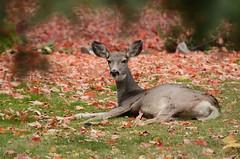 (Prairie_Wolf) Tags: canada animal photography britishcolumbia deer kimberly rachelmackayphotography