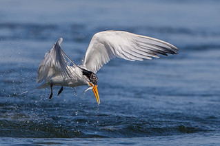 Elegant Tern Caught a Fish