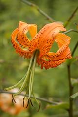 Lilium henryi (Alan Buckingham) Tags: summer orange flower sissinghurst tigerlily liliumhenryi henryslily