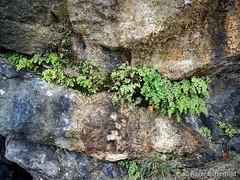 Maidenhair Fern (Roger B.) Tags: fern unitedkingdom cumbria limestone arnside gbr maidenhairfern adiantumcapillusveneris
