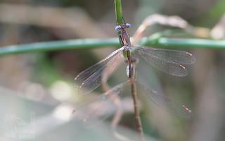 Libelinha - Lestes virens (fam Lestidae) - Small Spreadwing (Small Emerald Damselfly)