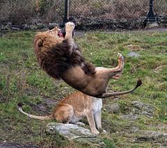 Jump - 5 (Gjesdal.org) Tags: detail norway zoo norge nikon no clarity sigma os apo dg kristiansand topaz dyrepark dyreparken hsm denoise d810 dyreparkenikristiansand vestagder f563 150500mm topazdenoise sigma150500mmf563apodgoshsm topazdetail topazclarity