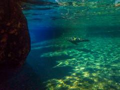 Seal on Velvet (J.T. Lindroos) Tags: lumix zoo seal louisville louisvillezoo panasoniclumix fz70 dmcfz70 tigerseal
