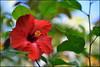 Red Delight (Rob Millenaar) Tags: flower hawaii bigisland hilo hybiscus
