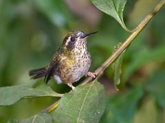 Schwarzohrkolibri (Eerika Schulz) Tags: kolibri hummingbird mindo ecuador bird vogel birds vögel ave aves speckled schwarzohrkolibri adelomyia melanogenys eerika schulz