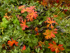 Fall in the garden. (arrowlakelass) Tags: autumn fall garden baptisiaaustralis hardygeranium falseindigo p1390793