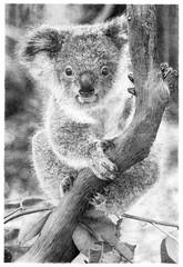 Koala bear (Phascolarctos cinereus)