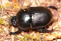 Geotrupes (Geotrupes) ibericus Baraud, 1958 (Jess Tizn Taracido) Tags: coleoptera polyphaga scarabaeiformia scarabaeoidea geotrupidae geotrupesibericus