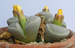 Lithops geyeri. [syn. hillii, C 233, South Africa, 65 km NE of Port Nolloth] (1) (Succulents Love by Pasquale Ruocco (stabiae)) Tags: southafrica succulent lithops mesembryanthemum namibia mimicry succulents stabiae mimetismo piantegrasse aizoaceae succulente mesembryanthemaceae cactusco mesembs fulviceps floweringstones sassifioriti pasqualeruocco mesembryanthema succulentslove forumcactusco
