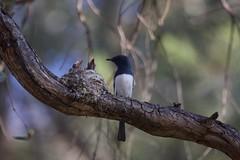 0I6A7522 Leaden Flycatcher (Male feeding at nest) (copsychus) Tags: bird birds australia breeding canberra act nesting 2015 leadenflycatcher pineislandreserve