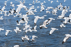 Group of seagulls (jack-sooksan) Tags: ocean family blue winter sea white cold beach nature water animal freedom bay fly escape wind seagull gull air flock group wing free away off blow take float avoid hover emigrate bevy migrate