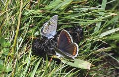 2000_32_22_edited-1 (Clive Webber) Tags: blue andorra lycaenidae plebejusargus silverstuddedblue ariciaartaxerxes mountainargus sorteny