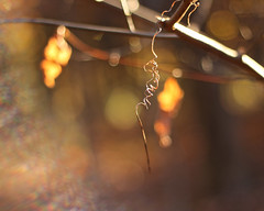 Spiraling (Cam Miller 2016) Tags: shallowdof bokeh backlight backlit nature autumn endril vine