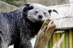 Binturong (skoop102) Tags: binturong bearcat longleat safari safaripark longleatsafaripark wiltshire