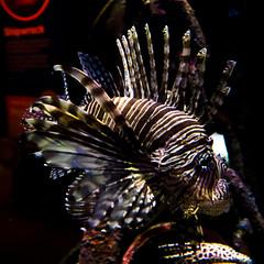Melbourne Aquarium (proper dave) Tags: lion fish lionfish aquarium ocean sea melbourne