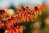 hamamelis intermedia......... (atsjebosma) Tags: flower macro bokeh winter december red bloem toverhazelaar hamamelisintermedia garden tuin atsjebosma rood 2016 ngc