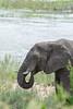 Elephant Grazing near the Riverbank (marccrowther) Tags: nikon d7100 nikond7100 tamron 150600mm tamron150600 tamron150600mmf563 tamronsp150600mmf563divcusd kruger krugernationalpark southafrica mpumalanga wildlife wild safari elephant ellies elephants