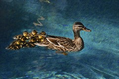 Mama and baby ducks (Pejasar) Tags: ducks mama baby swim birds water pool art family ducklings