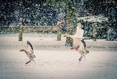 Snow and Geese 雪和雁 (T.ye) Tags: snow geese goose flying bird landscape wildlife outside outdoor atmosphere 雪雁 鳥類 大雁