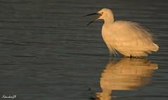 Golden hour little Egret (Natureshots.JP) Tags: littleegret sunrise nikond750 nikon300mmf28vr2 manfrotto malahide dublin ireland nikonteleconverter