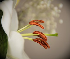 Lys - Lily (Kaya.paca) Tags: fleur lys lily blanc bokeh flower macro bouquet interieur lumièrenaturelle cadeau végétal hautesalpes france canon5dsr saveearth