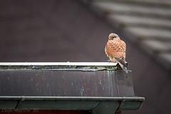 IMG_0534-20170111 Canon EOS 5D Mark II Turmfalke (fotoman-jens) Tags: fotoman 2017 turmfalke falke bird birds vogel greifvogel wildlife nature natur deutschland germany flickr canon canon5dmii sigma sigma120300