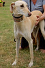 160814 St John's Hospice Country Fair-0043 (whitbywoof) Tags: roo reuben rescue pet dog lurcher accoladehounds
