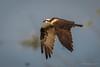 Osprey (halladaybill) Tags: irvine california unitedstates us osprey sanjoaquinwildlifesanctuary female flight seahawk raptor nikond500 nikkor80400zoomlens nikondslr orangecounty