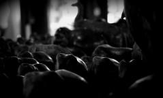 (SamDRajkumar) Tags: samdrajkumar blackandwhite blackwhite elephant alleppey kerala monochrome