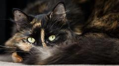 Look Into My Eyes (Unintended_Keith) Tags: eyes cat fluffy animal feline cute canon1dx sigma180mmf28apomacroexdgoshsm