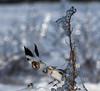 Bruant des neiges - Plectrophane des neiges (MichelGuérin) Tags: 2017 bruantdesneiges canada exterior extérieur hiver lightroomcc michelguérin mirabel nature nikon nikonafsnikkor200500mmf56eedvr nikond500 oiseaux plectrophanedesneiges qc québec animal bird ca