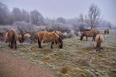 30-12-2016 - Oostvaardersplassen - DSC09363 (schonenburg2) Tags: oostvaardersplassen konikpaarden winter