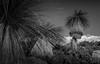 An Ancient Landscape (--Welby--) Tags: balga black boy grass tree white mono monotone monochrome canon 40d 1585 old prehistoric history landscape plant trees