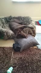 Sleeping Hudson (Filmstalker) Tags: hudson hudsonbrunton bed kong pillow labrador chocolatelabrador dog