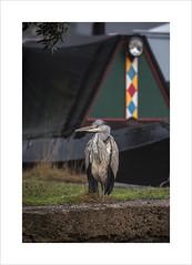 Patience (andyrousephotography) Tags: worsley bridgewater canal heron bird fishing standing waiting patience patient andyrouse nottherealone canon eos 5d mkiii