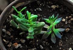 20170107 Jade Plants (lasertrimman) Tags: crassulaovata jadeplant friendshiptree luckyplant sedum crassula ovata jade plant friendship tree lucky