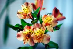 A bunch of Peruvian Lilies - Quinta Flower (Pensive glance) Tags: lily lilium lys fleurdeliys öeruvian liliylily incaslys péruvienlys des incas flower fleor plant plante alstroemeria