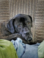 His eyes (damjangosak) Tags: dog dogs canecorso mastiff cute love lovely amazing honest loyal home look great