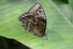 Peleides Blue Morpho Butterfly (Bri_J) Tags: tropicalbutterflyhouse northanston sheffield southyorkshire uk yorkshire butterflyhouse nikon d7200 butterfly peleidesbluemorpho bluemorpho morphopeleides sigma150600mm