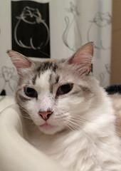 131-August'16 (Silvia Inacio) Tags: martini cat cats gato gatos