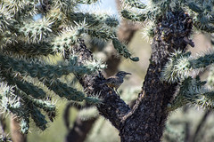 Cactus Wren hiding in a cactus (valeriecozart) Tags: saltriver birds colts desert filly flowers green mares ponies spring stallions wildhorses yearlings