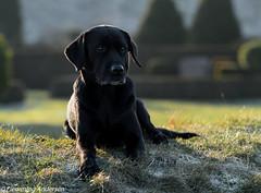 Buddy (Flemming Andersen) Tags: labrador black dog nature outdoor buddy animal dof hund blackdog jelling regionsyddanmark denmark dk