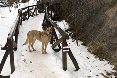 Dog on the hiking bridge (Majorimi) Tags: canon eos 70d digital color colorful nice hungary winter snow bridge cold dog animal watch wall tree forest valley snowy walking hiking