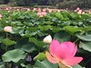 This Lotus patch has grown so much since my last visit (PsJeremy - back and catching up...) Tags: valentine lotus waterlily pink lilypatch 莲花 荷花 oriental 出于污泥而不染