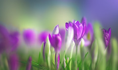CROCUS (Dhina A) Tags: sony a7rii ilce7rm2 a7r2 135mm f28 t45 stf sony135mmf28stf 9autoblades 10manualblades sal135f28 smoothtransitionfocus minolta smooth soft silky bokeh bokehlicious apodization crocus flower garden spring